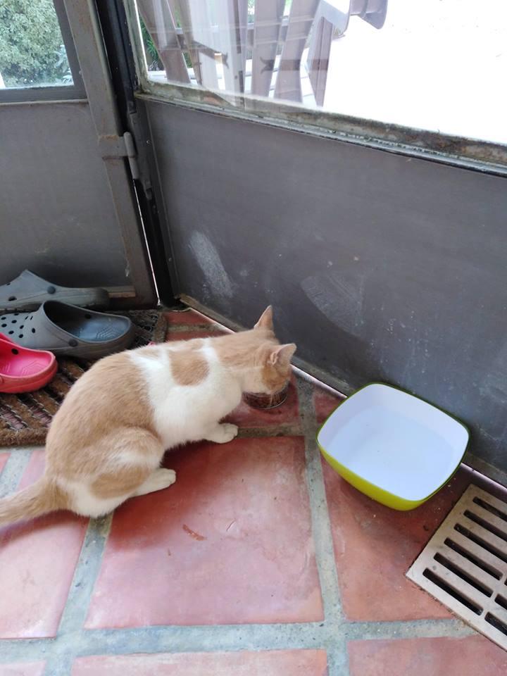 Perdu chat beige et blanc Allée Diderot à Colomiers 42656911