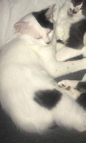 Perdu chat blanc taches noires - Allée du Pigeonnier - Colomiers 49008810