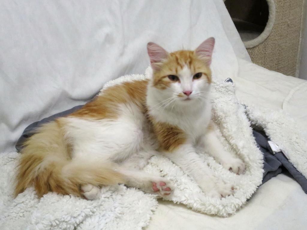 Trouvé chat roux et blanc à Colomiers Img_6311