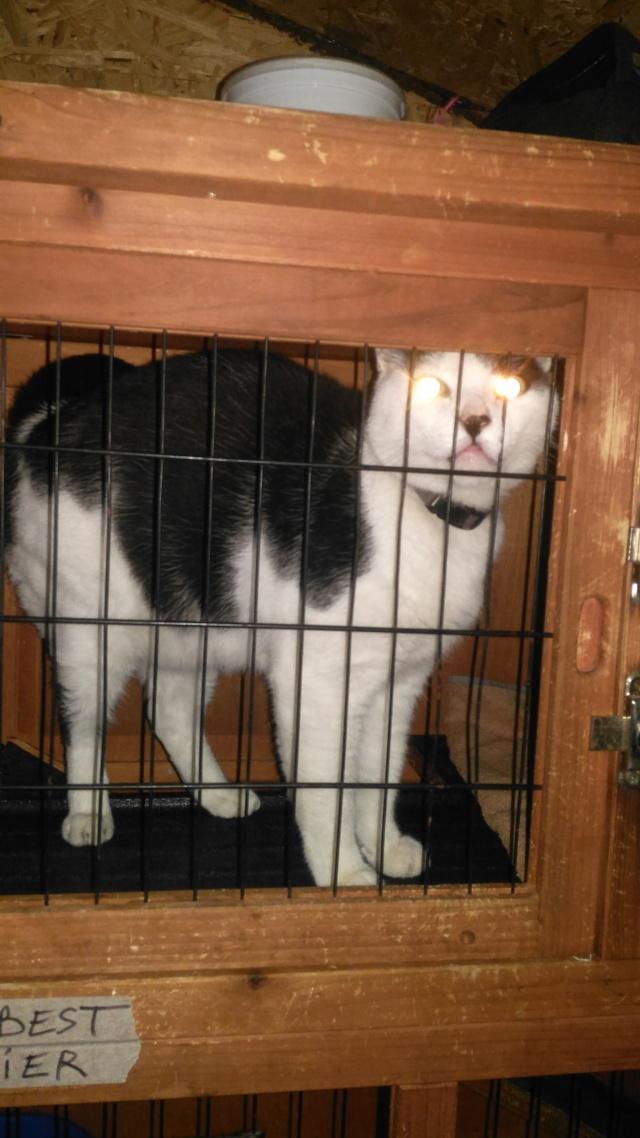 Trouvé chat noir et blanc à Colomiers P_201810