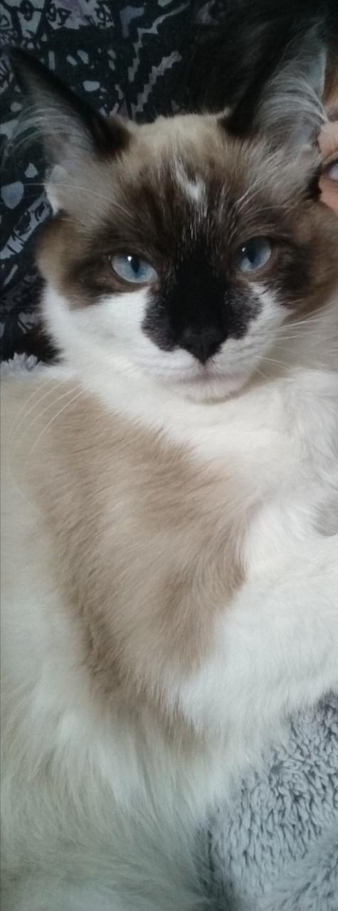 Perdu chat croisé siamois à St martin du Touch Thumb230