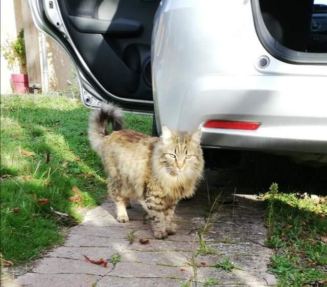 Perdu chat tigré poils longs chemin de la Nasque Thumb543