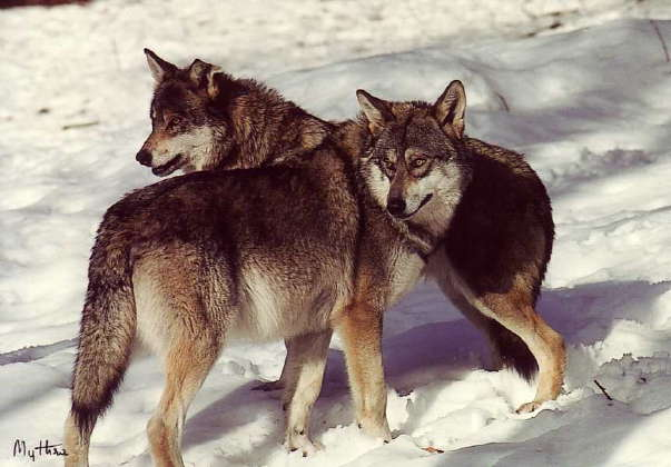 Les loups Canis_10