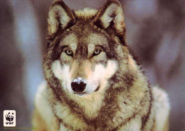 Les loups Grey_w10