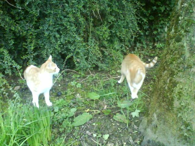 Pitch, le chaton parfait, roux et blanc, né mi-mars 2014 - réservé Adopty13