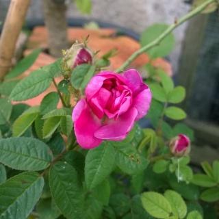 Rosa Pompon de Bourgogne !!! Wp_20121