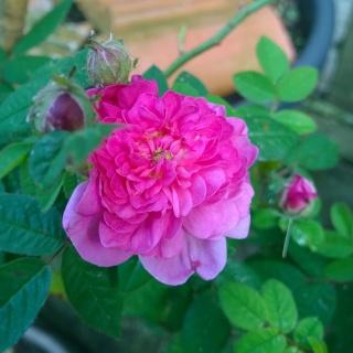 Rosa Pompon de Bourgogne !!! Wp_20122