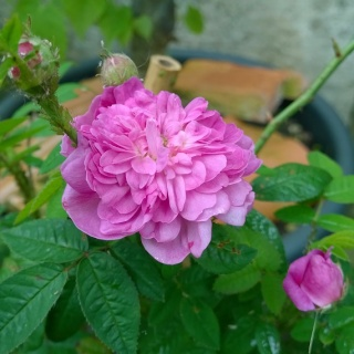 Rosa Pompon de Bourgogne !!! Wp_20123