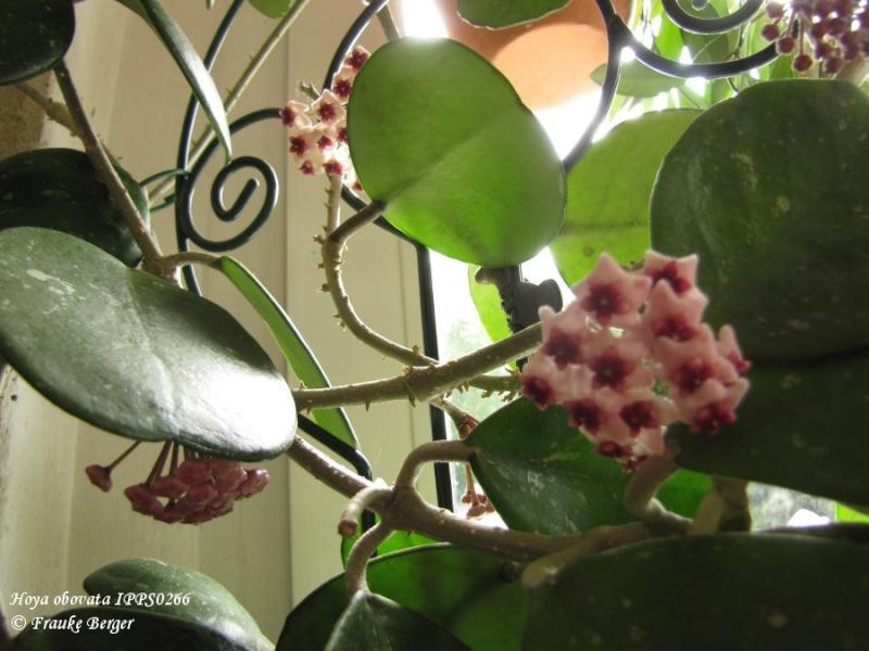 Blüten 2015 - Seite 2 05_hoy10
