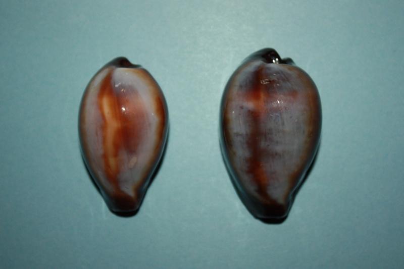 Erronea onyx onyx - (Linnaeus, 1758) 1-patt10