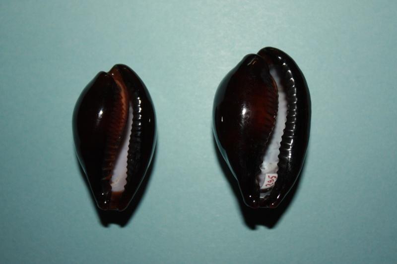Erronea onyx onyx - (Linnaeus, 1758) 2-patt10