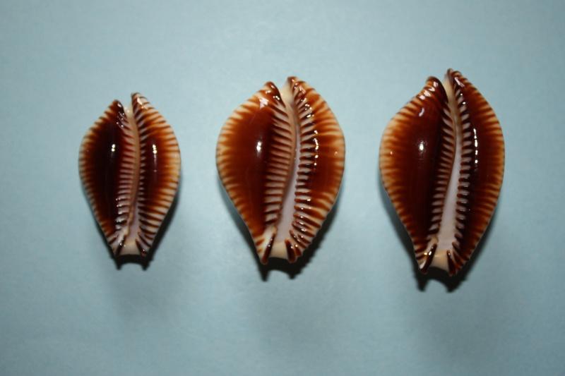Perisserosa guttata surinensis - (Raybaudi, 1978) 214