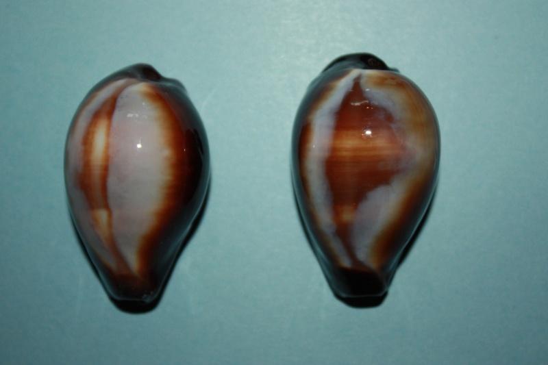 Erronea onyx onyx - (Linnaeus, 1758) 3-bogo10
