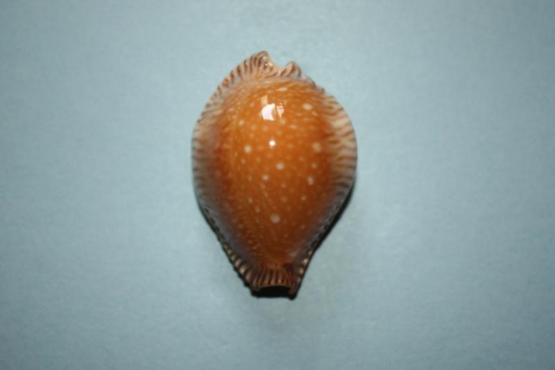 Perisserosa guttata surinensis - (Raybaudi, 1978) 314