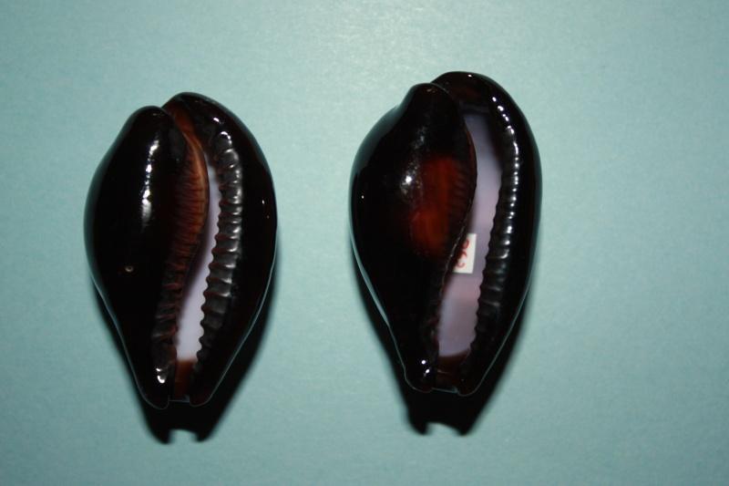 Erronea onyx onyx - (Linnaeus, 1758) 4-bogo10
