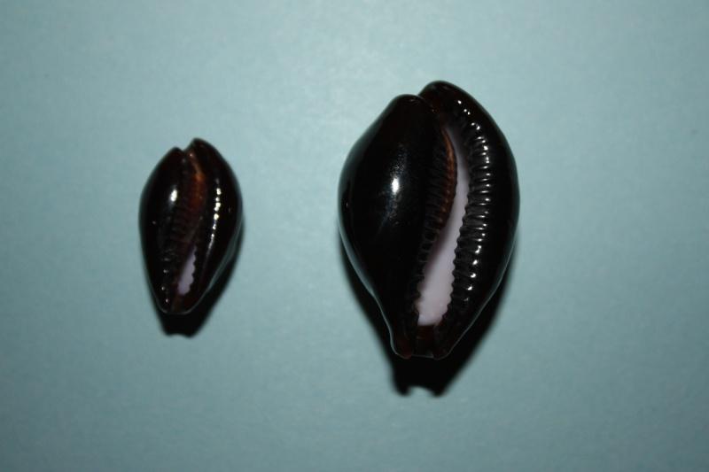 Erronea onyx onyx - (Linnaeus, 1758) 6_baie10