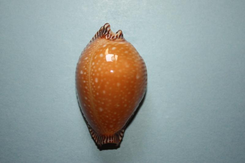 Perisserosa guttata surinensis - (Raybaudi, 1978) 711