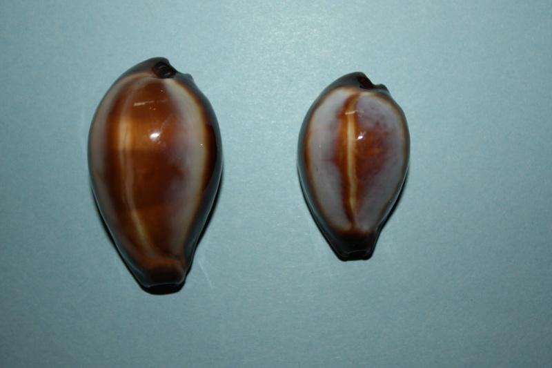 Erronea onyx onyx - (Linnaeus, 1758) 7_taiw10