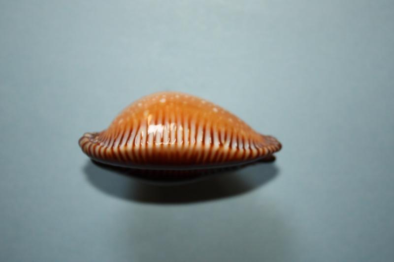 Perisserosa guttata surinensis - (Raybaudi, 1978) 912