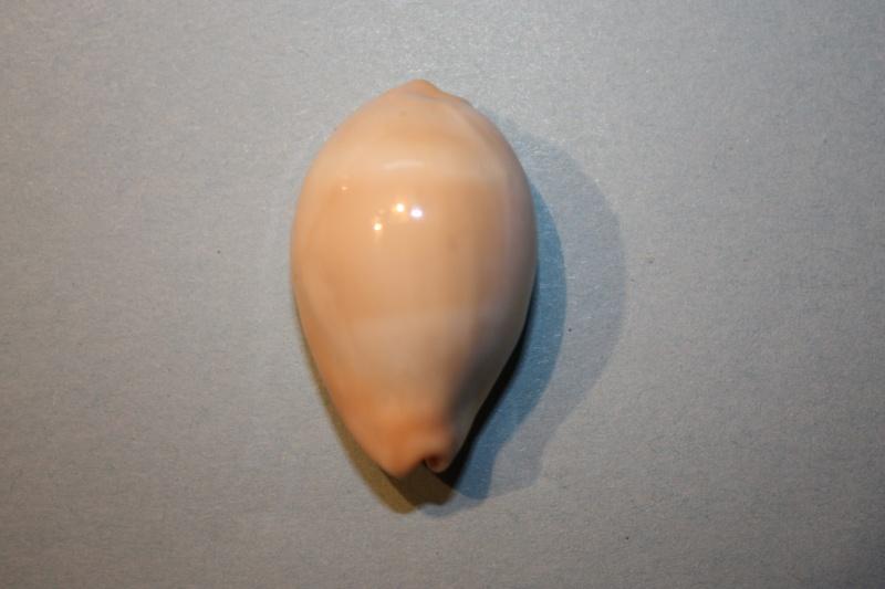 Erronea nymphae - (Jay, 1850) Errone10
