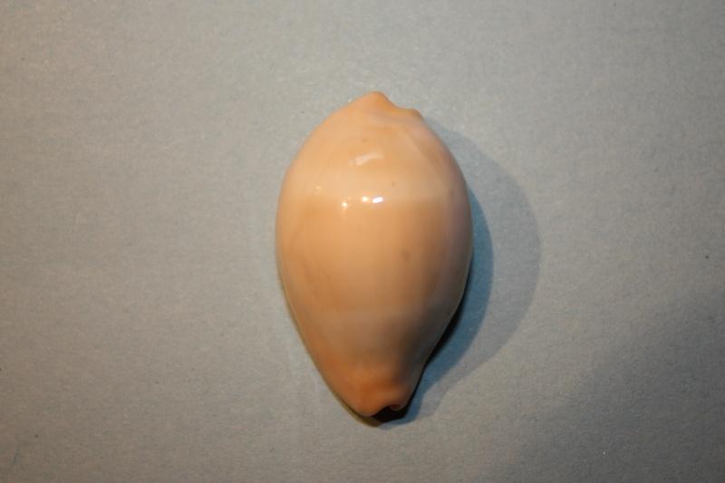 Erronea nymphae - (Jay, 1850) Errone11