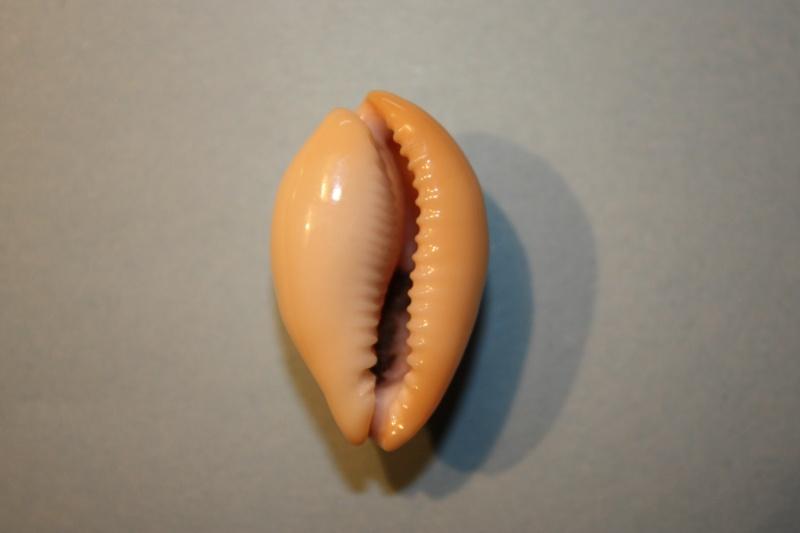 Erronea nymphae - (Jay, 1850) Errone12