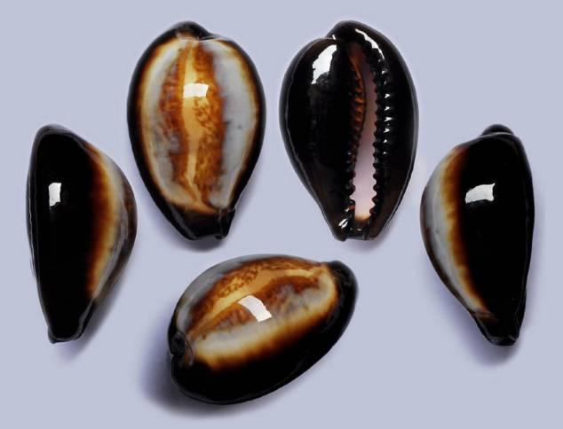 Erronea onyx draco - Bergonzoni, 2013 I0000110