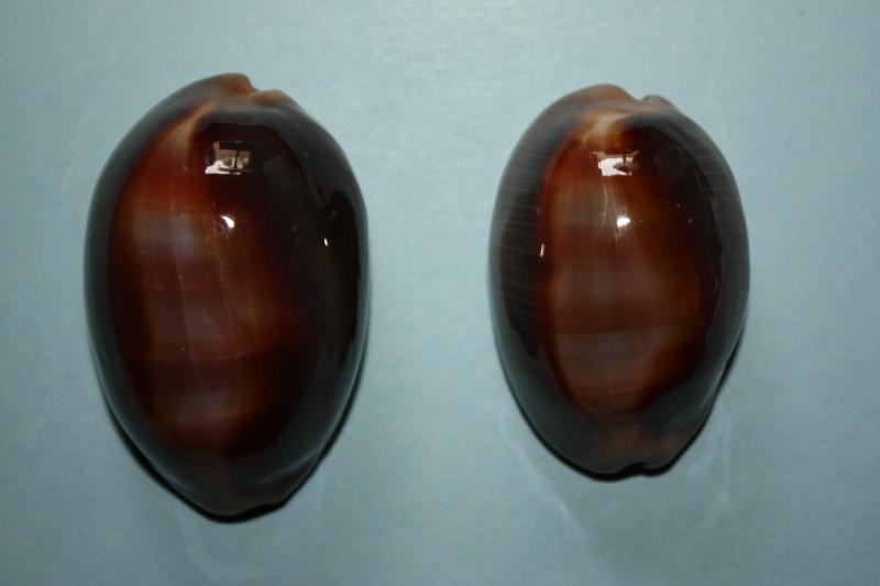 Lyncina ventriculus - (Lamarck, 1810) Img_4618