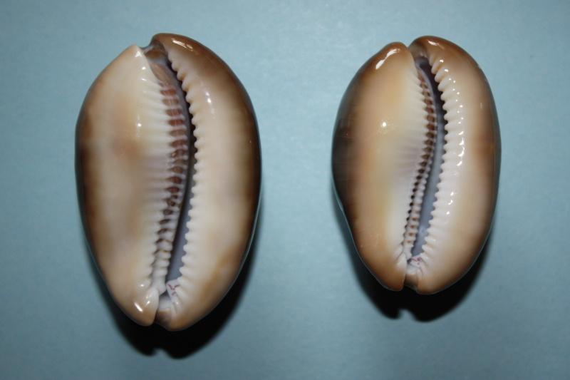 Lyncina ventriculus - (Lamarck, 1810) Img_4619