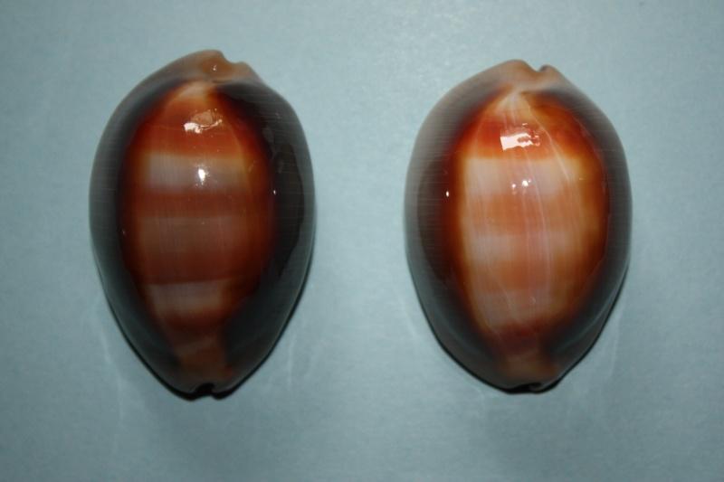 Lyncina ventriculus - (Lamarck, 1810) Img_4620