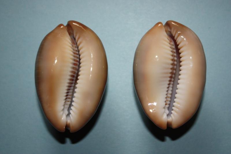 Lyncina ventriculus - (Lamarck, 1810) Img_4621