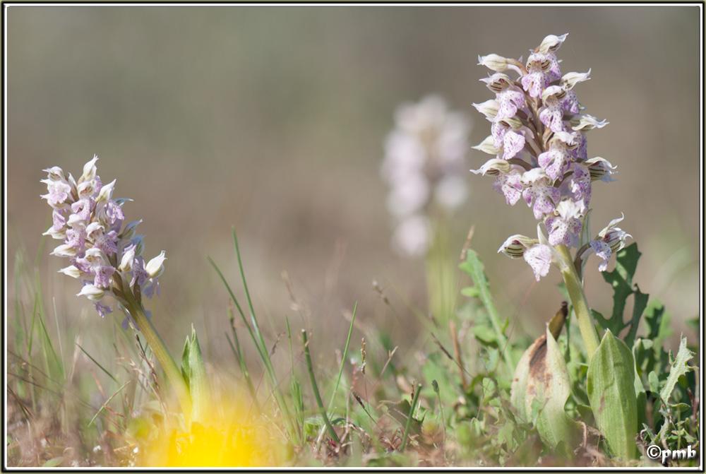 Neotinea lactea ( Orchis couleur de lait ) Neotin11