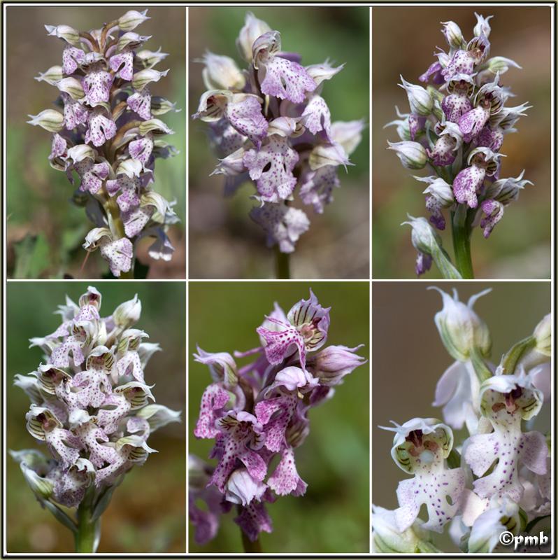 Neotinea lactea ( Orchis couleur de lait ) Neotin17