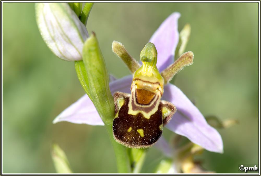 Lusus : 2 curiosités entrecastelaines (Mise à jour + 2 = 4!) Ophrys36