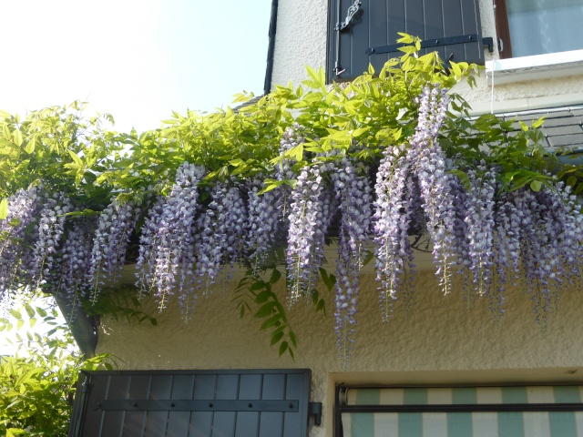 Wisteria - les glycines  - Page 3 20-04-17