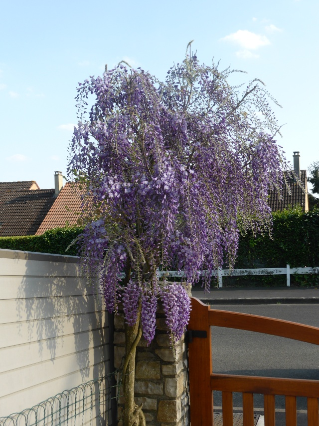 Wisteria - les glycines  - Page 3 20-04-19