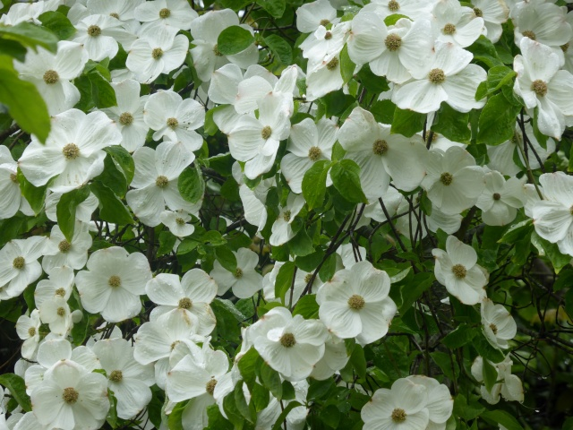 Cornus 'Eddie's White Wonder' 26-04-12