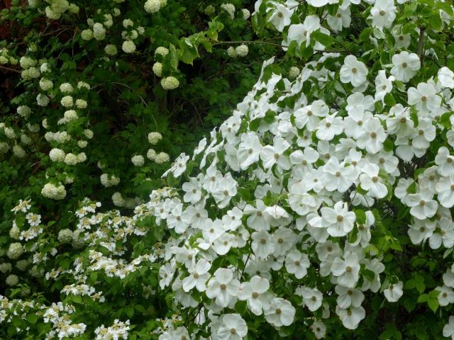 Cornus 'Eddie's White Wonder' 26-04-13