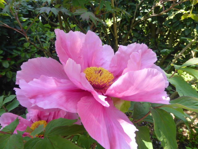 Paeonia - pivoines arbustives - Page 4 26-04-17