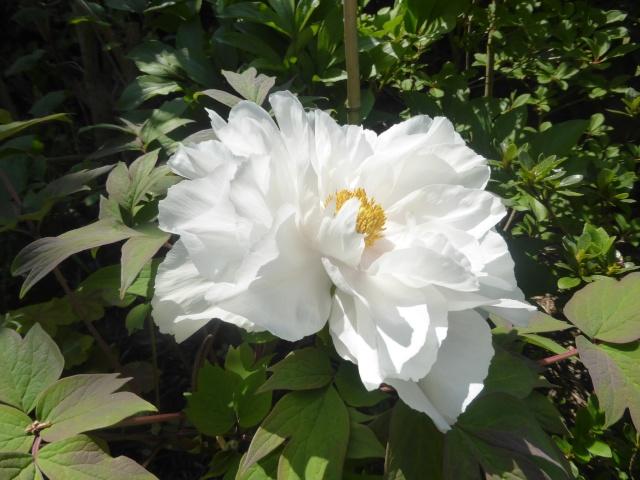 Mes fleurs blanches du jardin 26-04-19