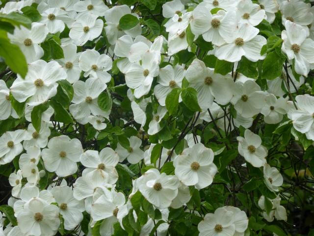 Mes fleurs blanches du jardin 26-04-21