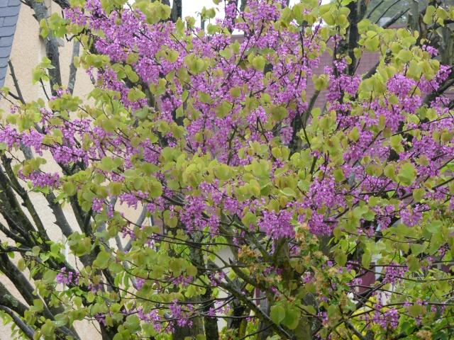 Cercis siliquastrum - arbre de Judée  - Page 2 26-04-22