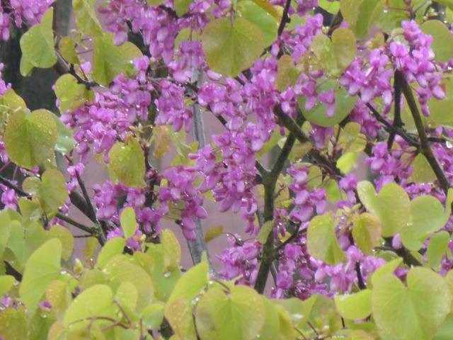 Cercis siliquastrum - arbre de Judée  - Page 2 26-04-23
