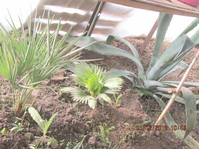 Palmier rachiticus Photo_25
