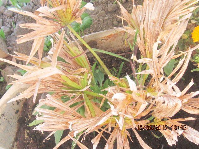 Palmier rachiticus Photo_26