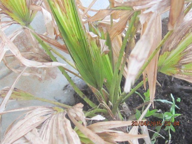 Palmier rachiticus Photo_33