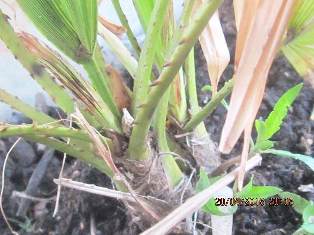Palmier rachiticus Photo_34
