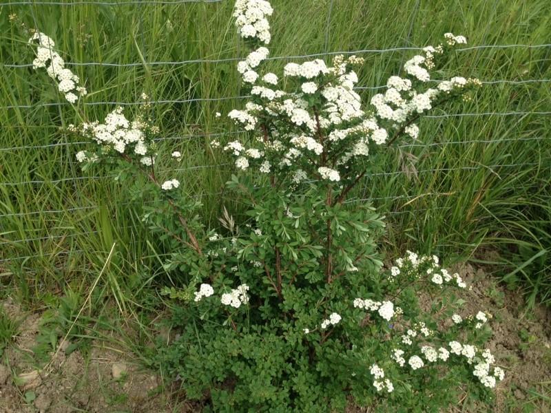Buisson a fleurs blanches ? Spirée Van Houttei Img_1815