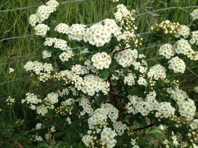 Buisson a fleurs blanches ? Spirée Van Houttei Img_1816