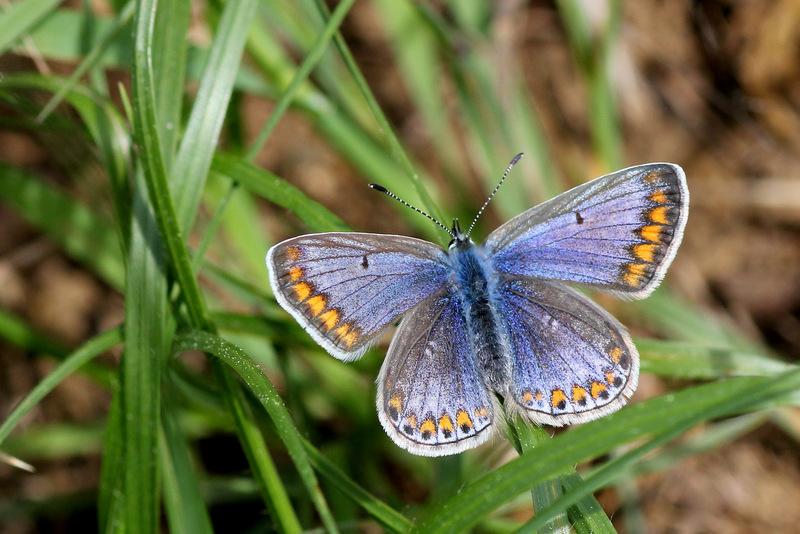 Identification papillon. Tauriz12
